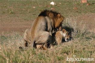 盘点动物性行为 狮子需交配3000次才能怀孕 图