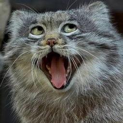 一只行走的表情包 我不是猫,我是兔狲儿 南方IT学院