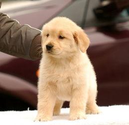 金毛犬价格 金毛犬多少钱一只 纯种金毛犬幼犬专卖