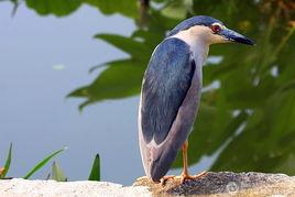池边守猎的夜鹭