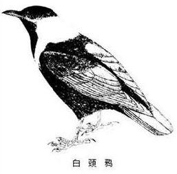 鹘入鸦群-秃鼻乌鸦、寒鸦、大嘴乌鸦为中国东部和北部城市内冬季的主要混群越...