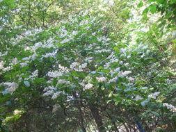 花与树影评-一穗穗圆形花苞、十字花的花瓣,初初以为是丁香.可它的香味并不浓...