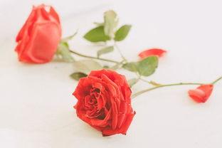 描写玫瑰花的诗词