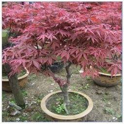 红枫图片,红枫盆景,红枫小苗木种植技术
