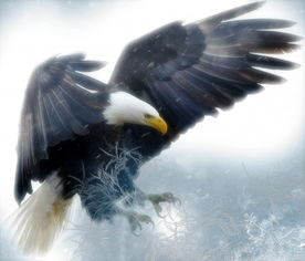 飞翔的老鹰图片 第1张