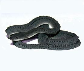 爪哇闪皮蛇 龙蛇,三鳞蛇