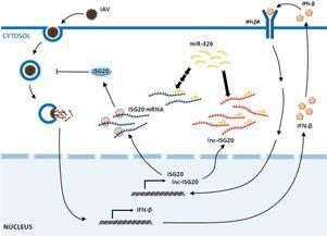 长链非编码RNA(lnc-ISG20)调控流感病毒感染和复制模式图-微生物所...