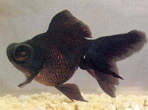 墨龙鱼-图片标题墨龙睛鱼所属词条墨龙睛鱼简介 墨龙睛鱼龙金鱼的一种,最早...