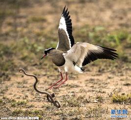 一条蛇在田凫巢偷吃鸟蛋被田凫妈妈撞破,盛怒的田凫妈妈为保护自己...