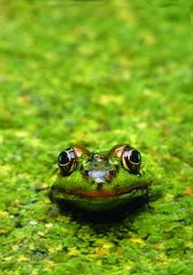 偷吃禁果的青蛙的一生