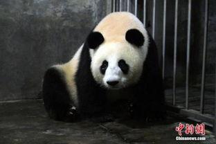 法国动物园大熊猫怀孕 园长 大家高兴炸了