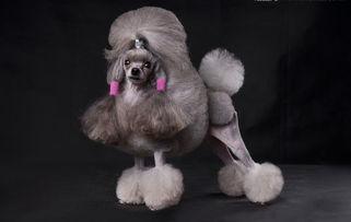 巨型贵宾犬多少钱一只