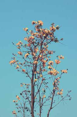 花与树影评-一片青空,一树黄花