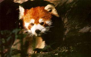 艹狗图片图库-中国图片库珍稀动物-小熊猫
