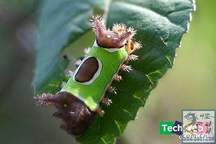 虫来的修界-昆虫界最华丽的10种毛毛虫 你绝对没见过