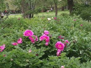 """芍儿花-现已被尊为七夕节的代表花卉.另外,""""憨湘云醉眠芍药P""""是被誉为..."""
