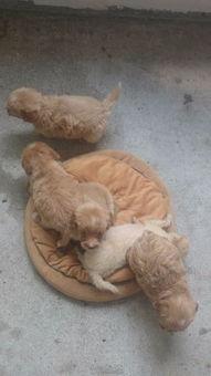 小泰迪串串和吉娃娃小串串幼犬领养