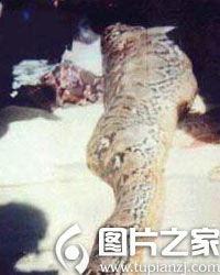 俗话说人心不足蛇吞象,蛇能不能吃象大家没有见过,但是蛇吃人的事...