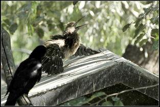 鹘入鸦群-  反抗让几只乌鸦无法下嘴,有的乌鸦退出了即将到嘴的饕餮大餐.
