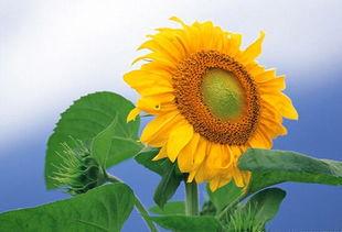 太阳花花语