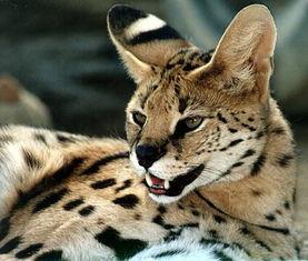 约75-110cm,重约6-15kg)和猞猁很像但不是猞猁.   短尾猫   薮猫   ...