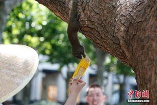 手揽天下-7月13日,松鼠为吃玉米