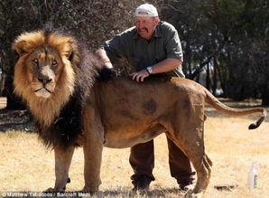 英国动物管理员为狮子喷洒定型剂梳理鬃毛