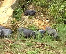 素可泰圆叶立枝山乌龟-大苗山香猪生态养殖园