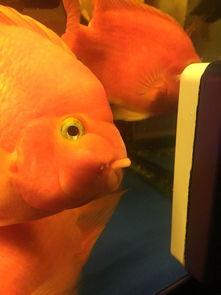 鹦鹉鱼嘴肿了还有白头帮我看看