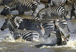 肯尼亚斑马迁徙过河遭鳄鱼攻击吞食