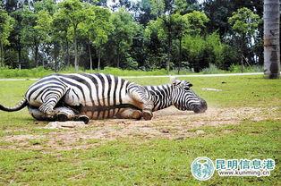 云南野生动物园设非洲草食动物散放区 雄斑马将儿当情敌