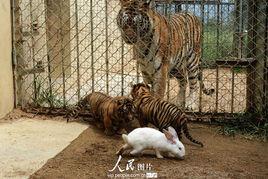 kigurumi神木林兔子-2013年9月10日,山东青岛森林野生动物世界给春夏季出生的小狮、虎...