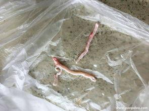 猪肉里发现疑似寄生虫的东西