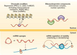 长链非编码RNA 从科研到临床