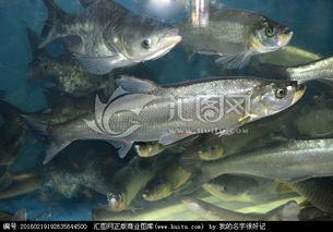 翘嘴鱼,鱼类,动物摄影,摄影,汇图网