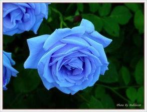 蓝色蔷薇花花语是什么