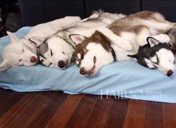 ...am的西伯利亚哈士奇家族组团卖萌,表情丰富的 二货 狗狗有没有迷...