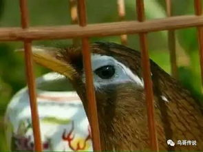 画眉打斗鸟的眼睛-画眉鸟斗鸟八忌