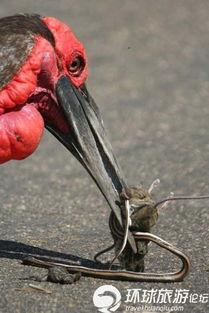 ...脸地犀鸟捕到了一条蛇和一只老鼠-世界上最大的野生动物园
