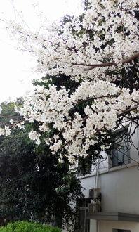 武大樱花节