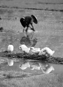 ...雄春播时鸭子的悠闲和忙碌的农民. -2015 03 30 微摄微评 初春映像