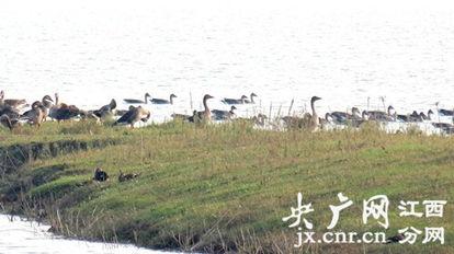 鄱阳湖都昌候鸟保护区迎来今年首批越冬候鸟