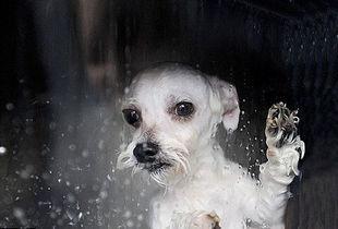 村上里沙 和2只狗番号-狗狗们从洗狗机出来时就会重新变得干净可爱.-自动洗狗机可在半小...
