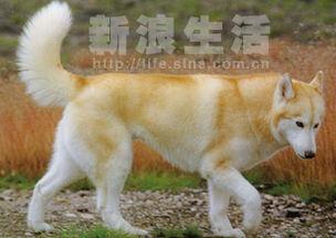 用名:西伯利亚哈士奇犬   英文名: