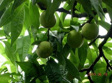 """丰满肥熟农村老鸡-留下果实们的""""绝版风华"""":   还是那群在各种果实中穿梭的鸡咯咯:  ..."""